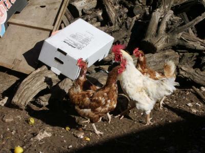 Los pollos camperos